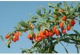 500 de grame de Fructe Goji