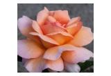 4 x voucher de 15 euro pentru cumpararea unor butasi de trandafiri