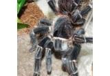 1 x tarantula Lasiodora Parahybana