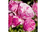 3 x 10 trandafiri urcatori/cu flori mari/grupate/peisaj + trandafir pomisor