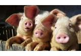3 x porc de Craciun